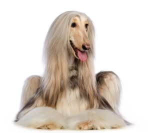 Afghan Hound Dog on white background laying down