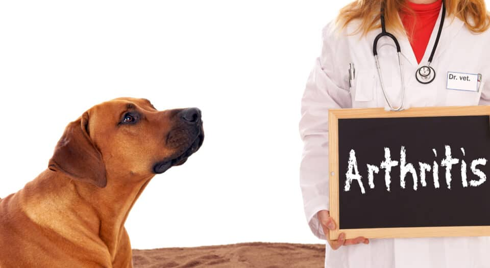 Dog looking at veterinary holding a sign that says arthritis
