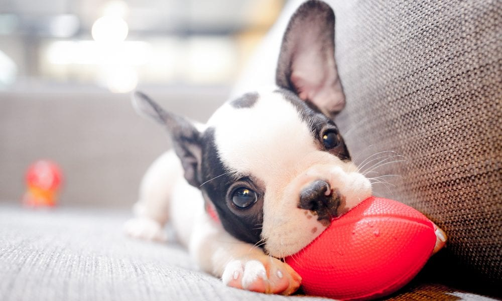A Guide To The First Six Months With Your New Puppy: Boston Terrier Puppy with small red football