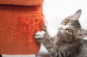 Grey tabby cat scratching an orange fabric couch