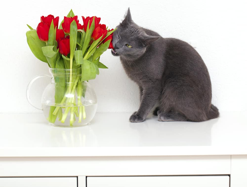 Cats and Household Toxins: Cat eating toxic tulips