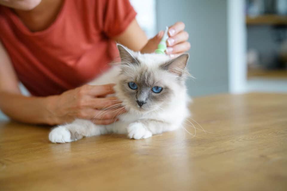 Giving a cat flea prevention