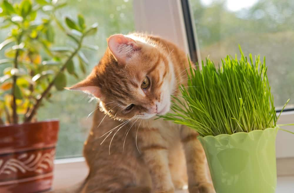 Why Cats Go Crazy For Catnip: Cat sniffing catnip plant