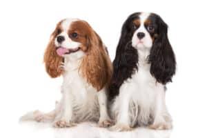 Top 10 Best Dogs for Seniors: Cavalier King Charles Spaniel