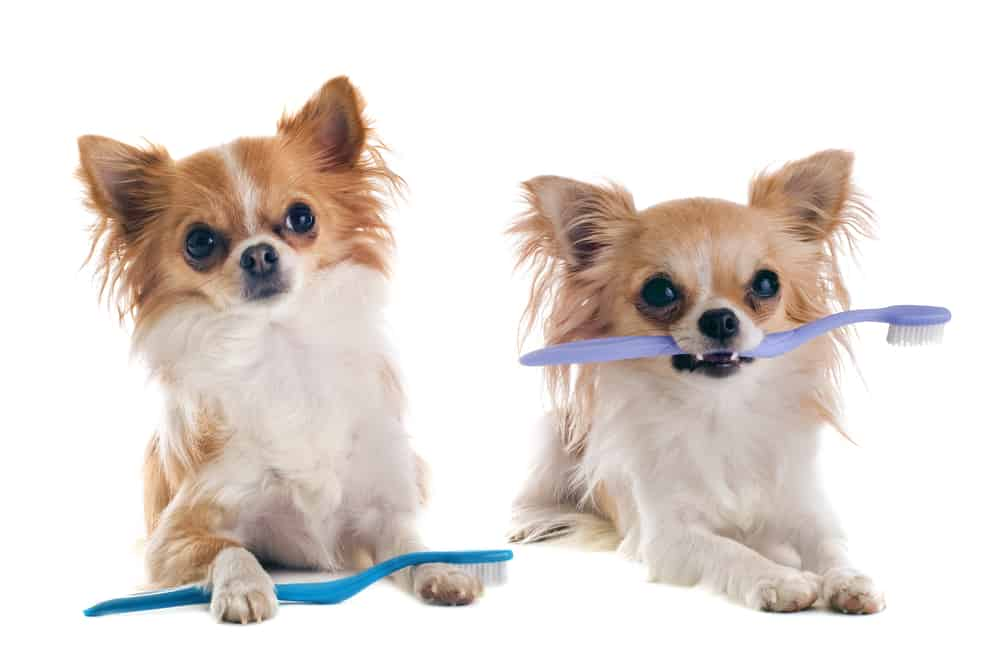Dental Disease In Dogs: two chihuahuas with toothbrushes