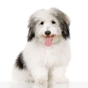 Coton de Tulear dog on white background
