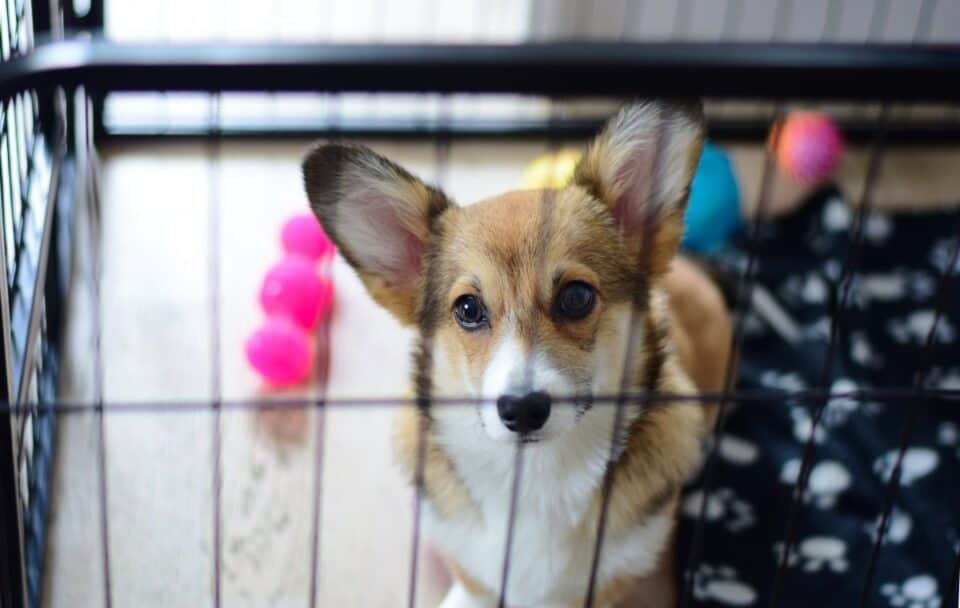 Little Corgi dog in a crate with toys