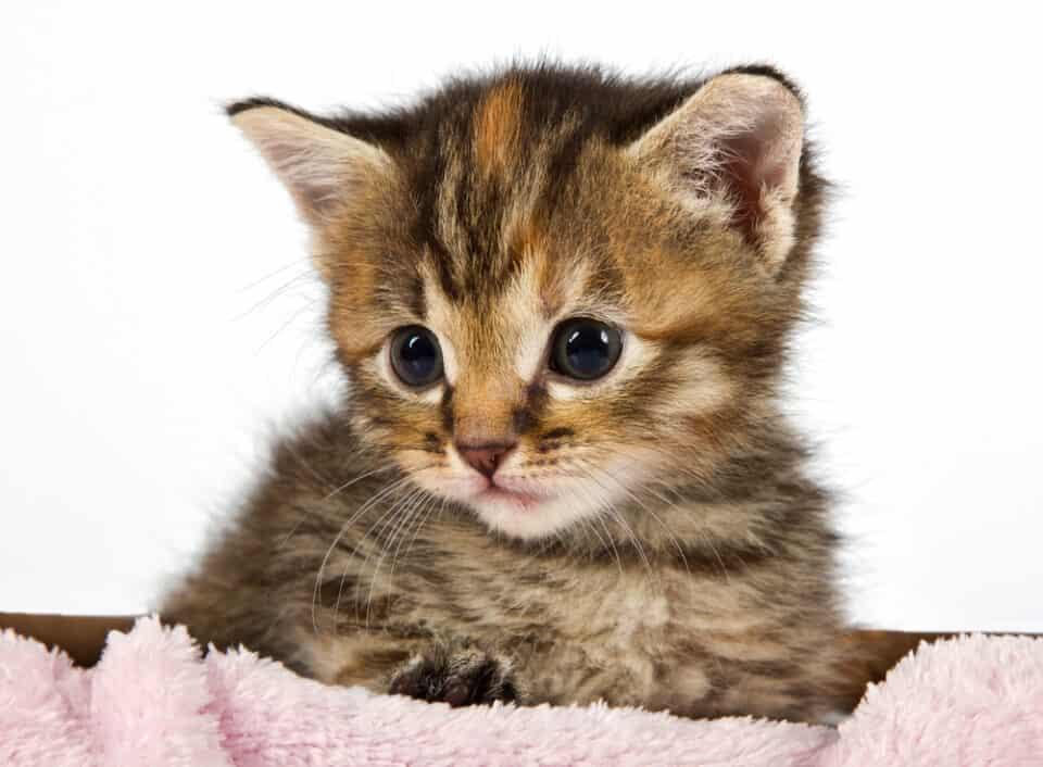 Cute baby kitten in a pink blanket
