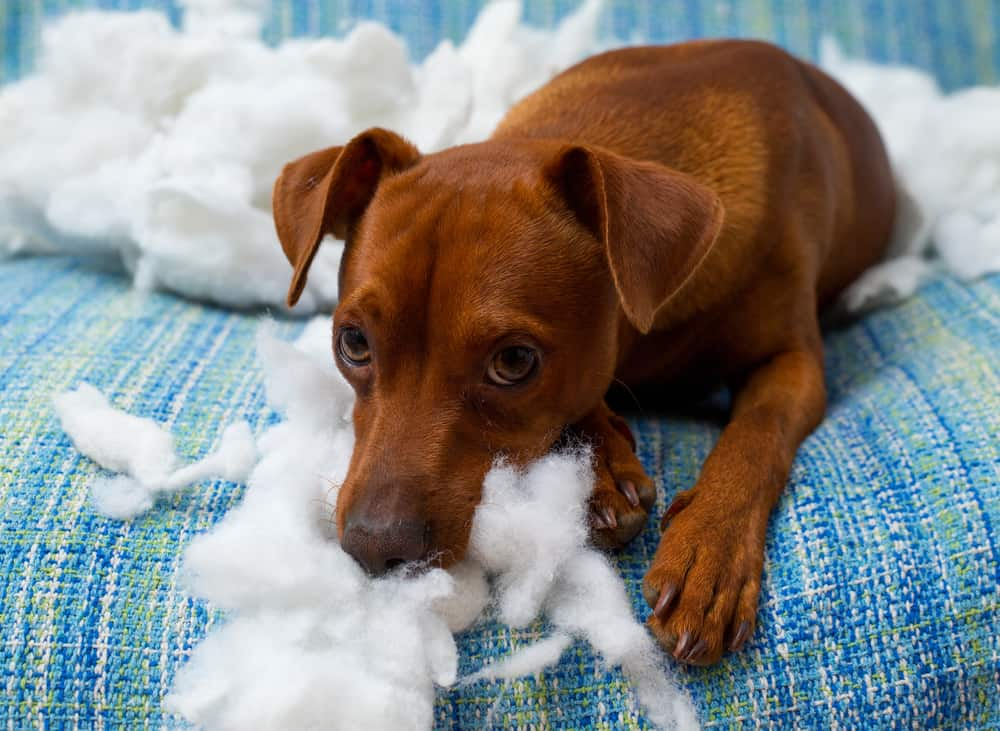 Separation Anxiety in Dogs: Destructive Dog Chewing Stuffing