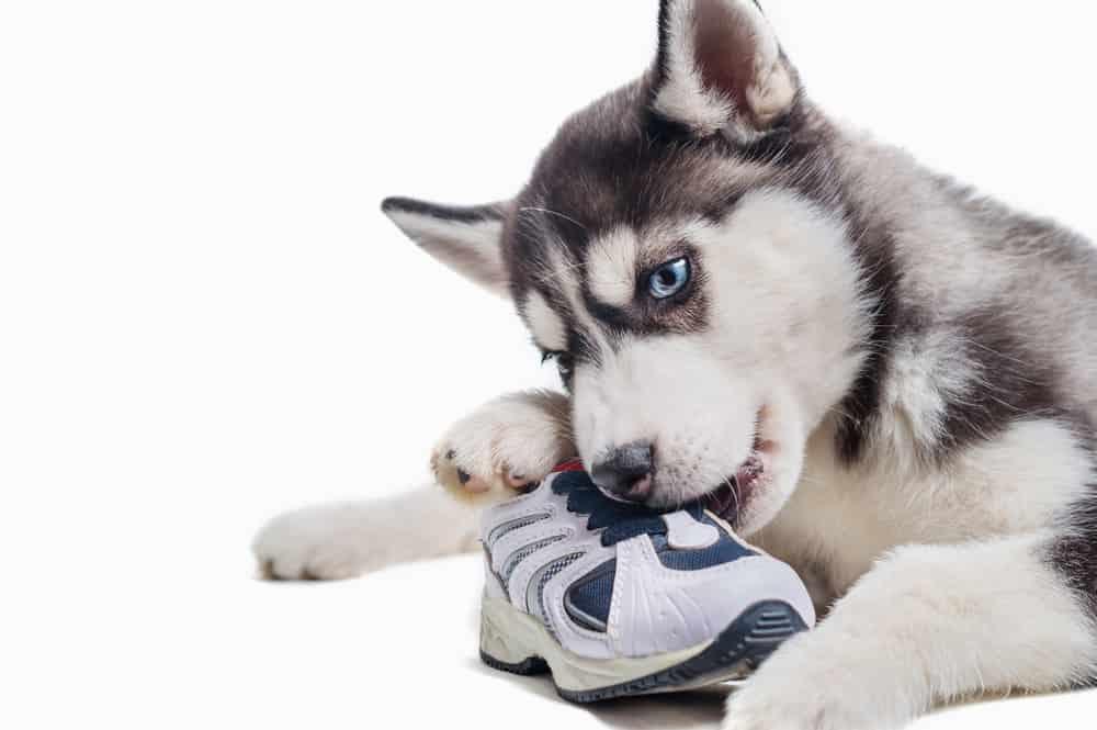 Siberian Husky Dog chewing shoe