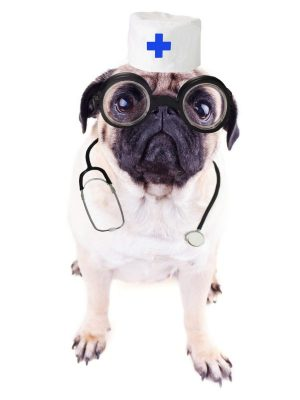 Pug dog dressed as a nurse with a white hat and stethescope