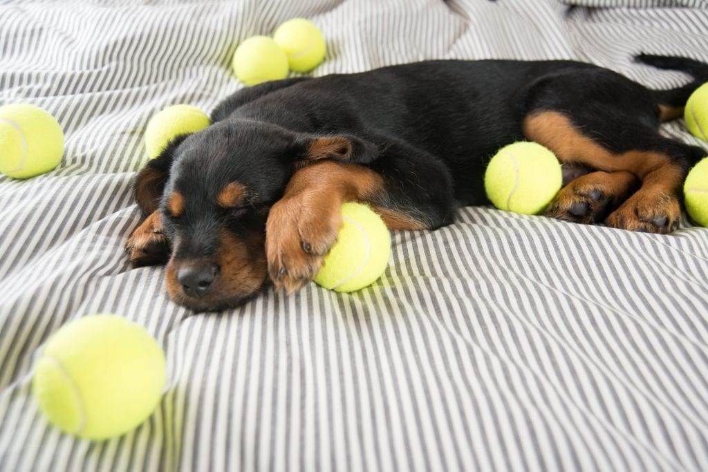 Puppy Parenthood 101: Rottweiler puppy with balls sleeping on a striped blanket