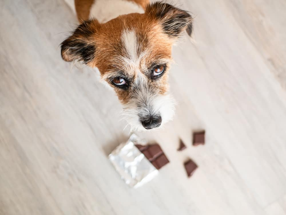 Dog standing in front of chocolate bar on the floor looking guilty for March is Pet Poison Prevention Month