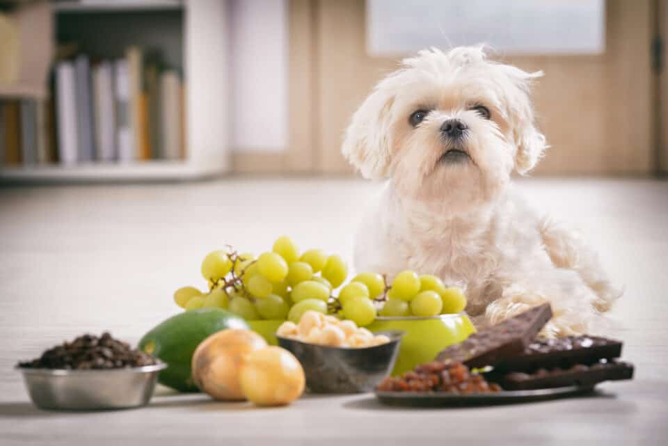 Dogs and Household Toxins: white Maltese dog with toxic foods