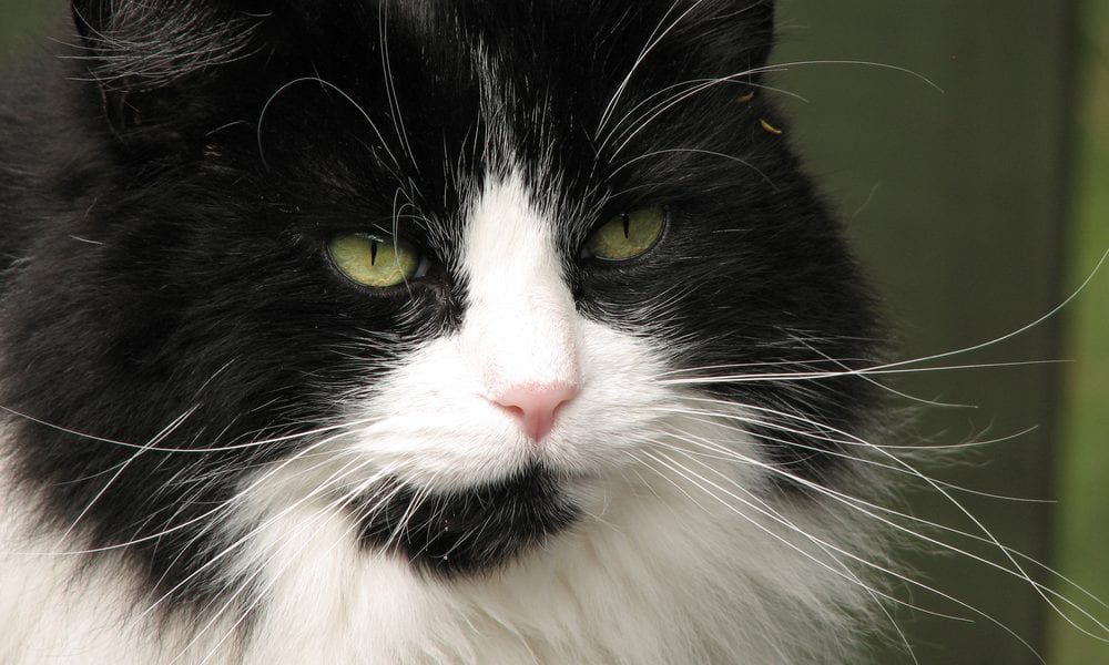 Elderly black and white cat