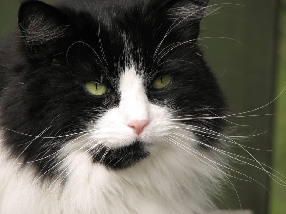 Elderly black and white cat
