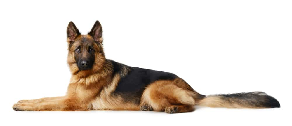 Adult German Shepard dog lying down on a white background