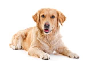 Top 10 Best Dogs for Seniors: Golden