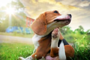 Parasite Prevention in Dogs: Itchy Beagle