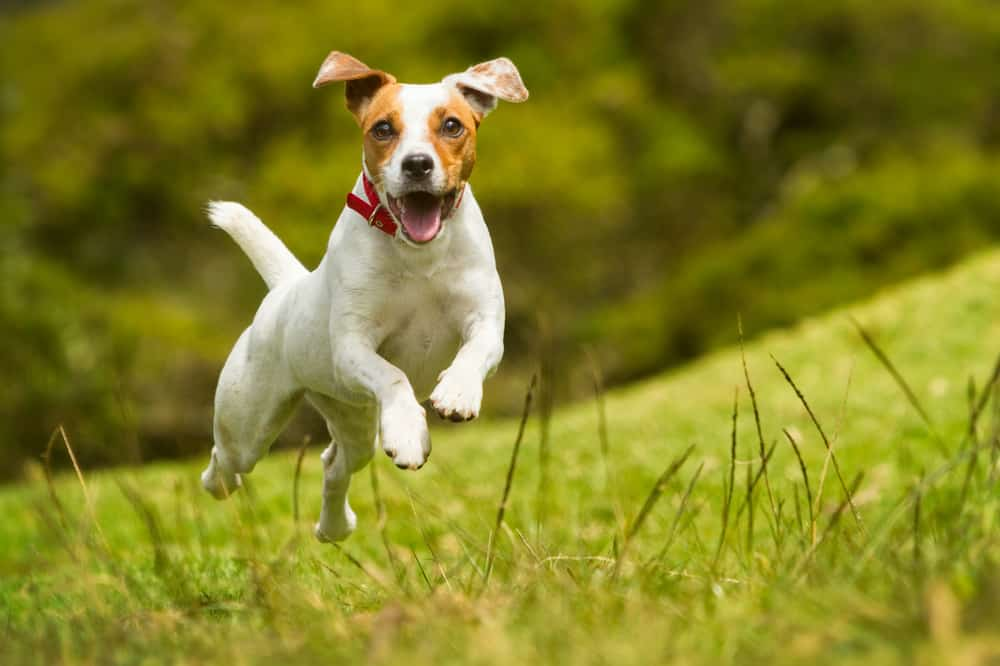 How To Choose The Right Dog Breed For Your Family: Jack Russell Terrier Puppy Running In The Grass