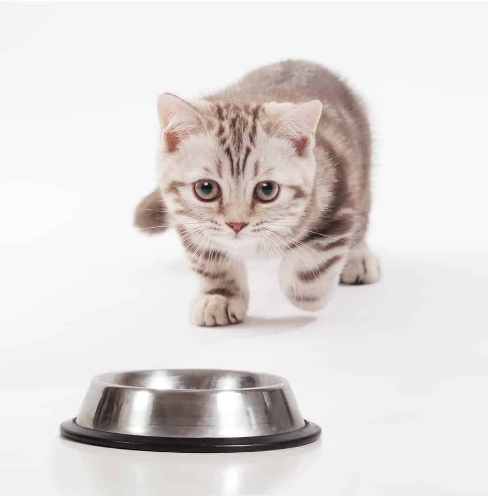 Kitten walking towards stainless steel bowl