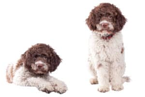 Two Lagotta Romagnolo dogs on a white background