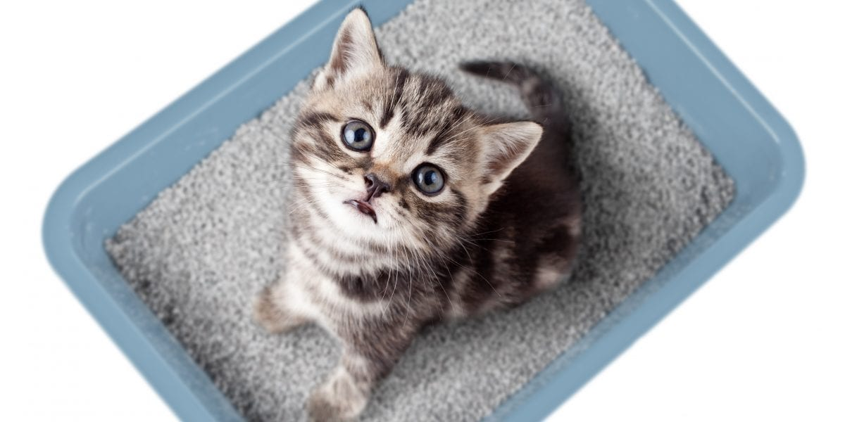 Grey and white kitten in a light blue litterbox