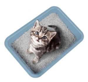 How To Kitten-Proof Your Home - Grey and white kitten in a light blue litterbox