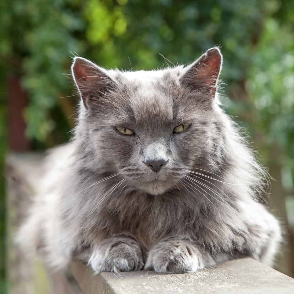 Recognizing Behavioral Changes In Senior Cats: Old gray cat