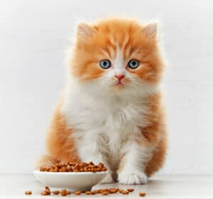 What to feed your new kitten: orange and white kitten eating a bowl of dry food