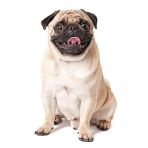 Top 10 Best Dogs for Seniors: Pug