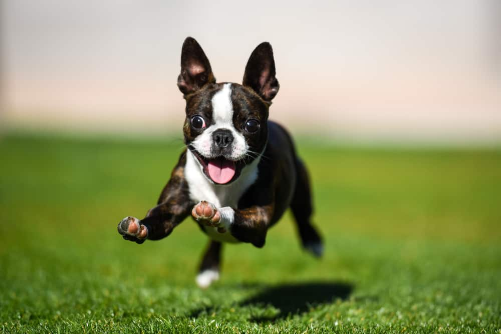 How To Puppy-Proof Your Home: Puppy running in the grass towards camera