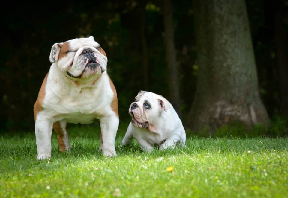 Small bulldog puppy with his adult mom