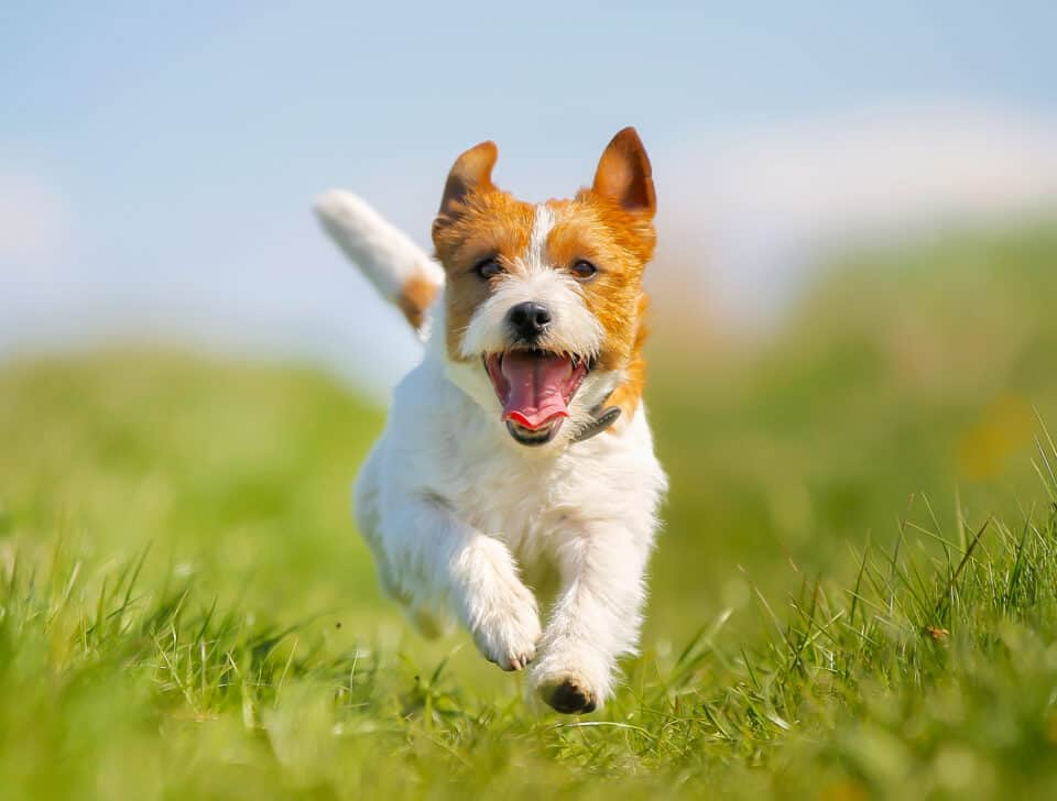 Puppy Parenthood 101: Jack Russell Terrier Puppy Running in the Grass Towards You
