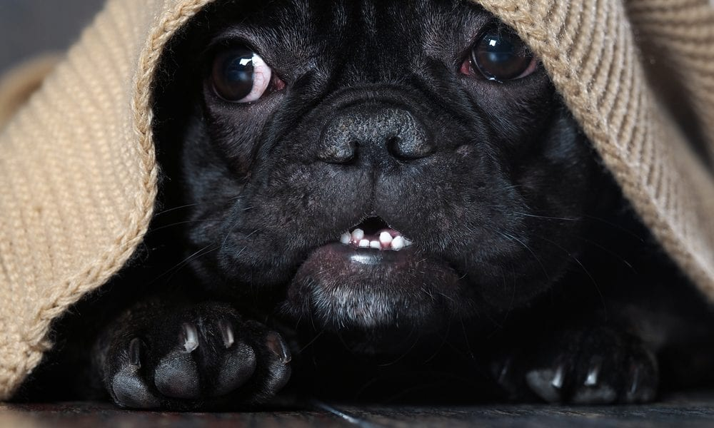 Scared black pug under blanket