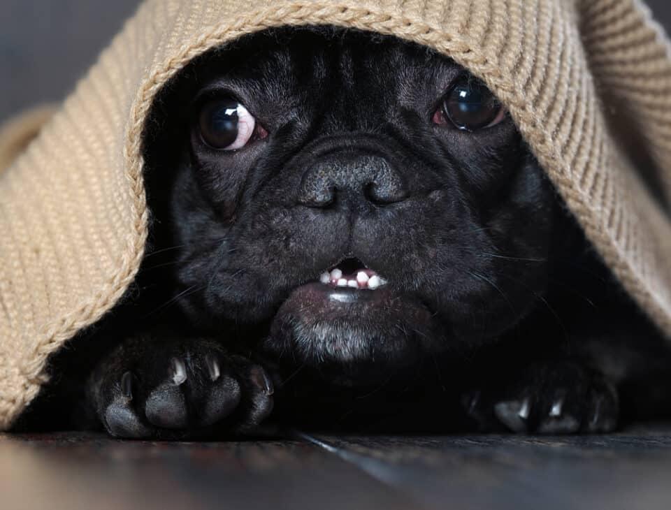 Scared black pug under blanket