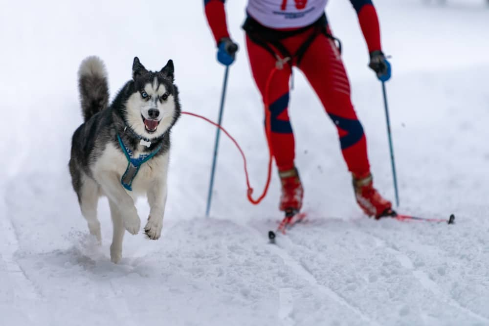 WINTER GAMES FOR DOGS TO PLAY and SNOW SAFETY: dog with man skiing