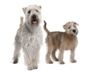 Two Soft Coated Wheaten Terriers on a white background