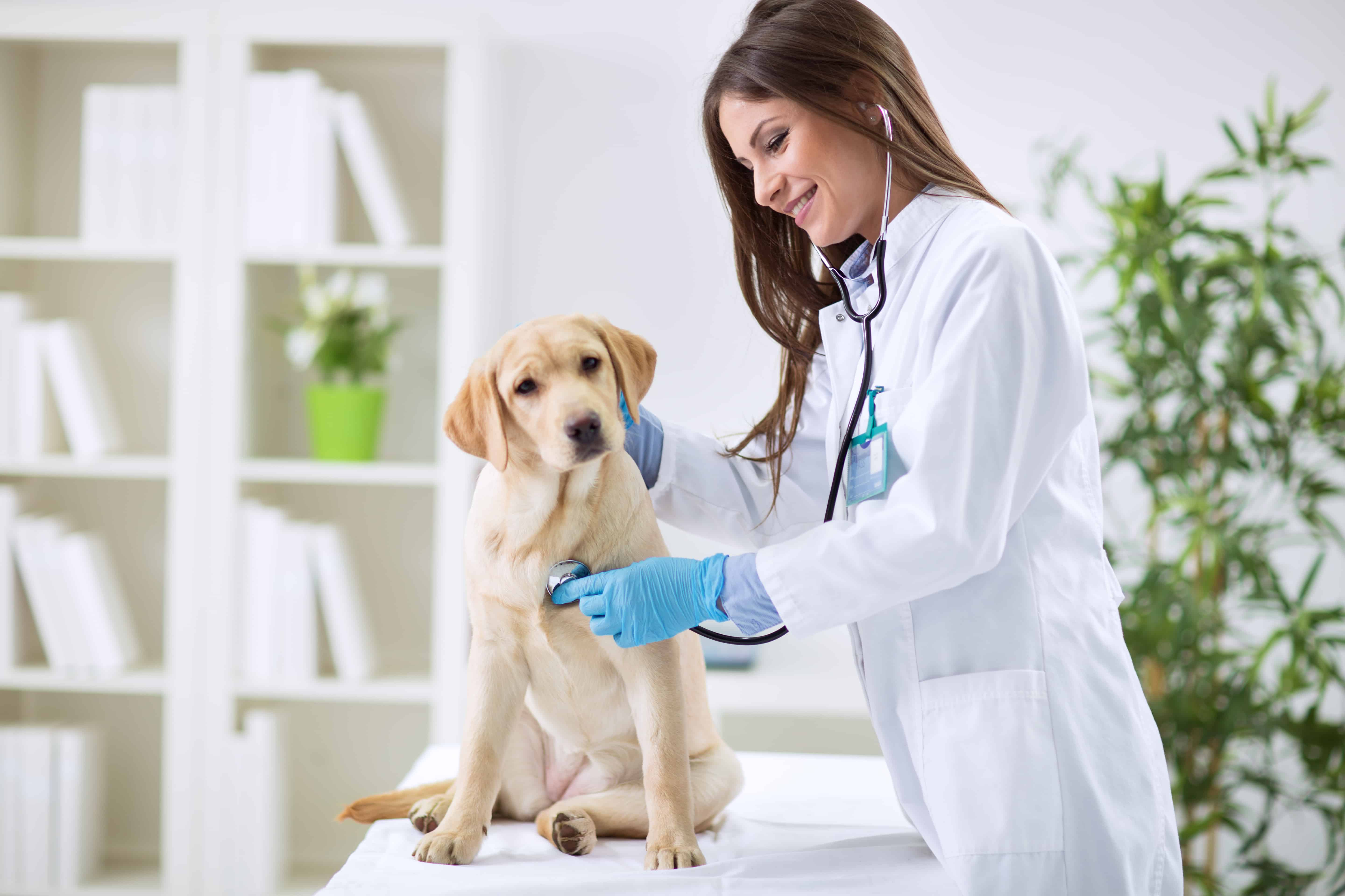 Zoonotic Diseases Of Dogs: small dog with female veterinarian laughing as he kisses her
