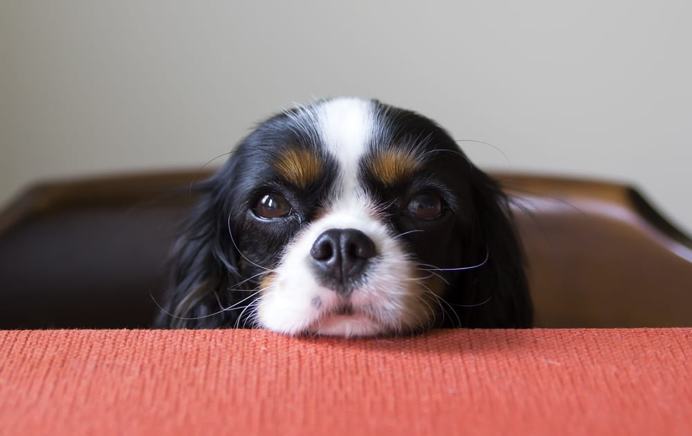 what to feed your new puppy: puppy with his chin on the table begging for food
