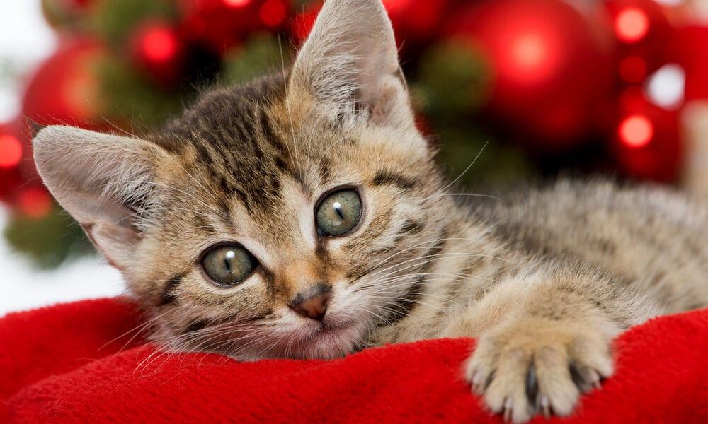Tabby cat on red velvet blanket with red bulbs on a Christmas tree in the background