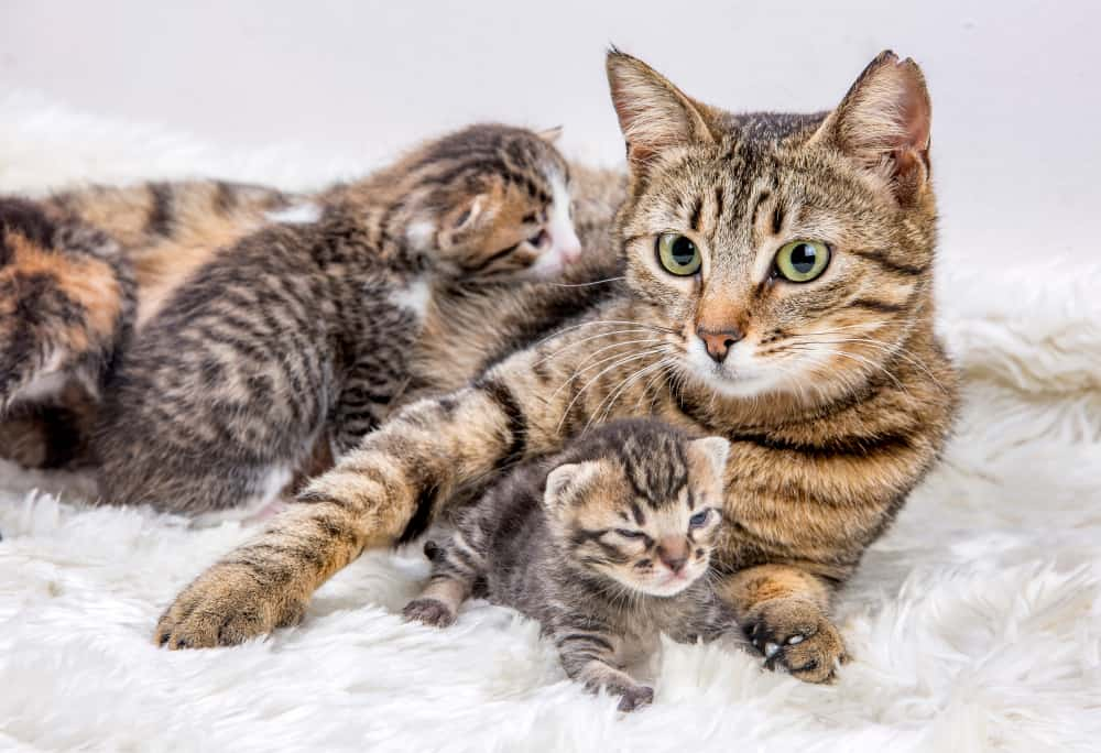 What to feed your new kitten: tabby kittens with mom