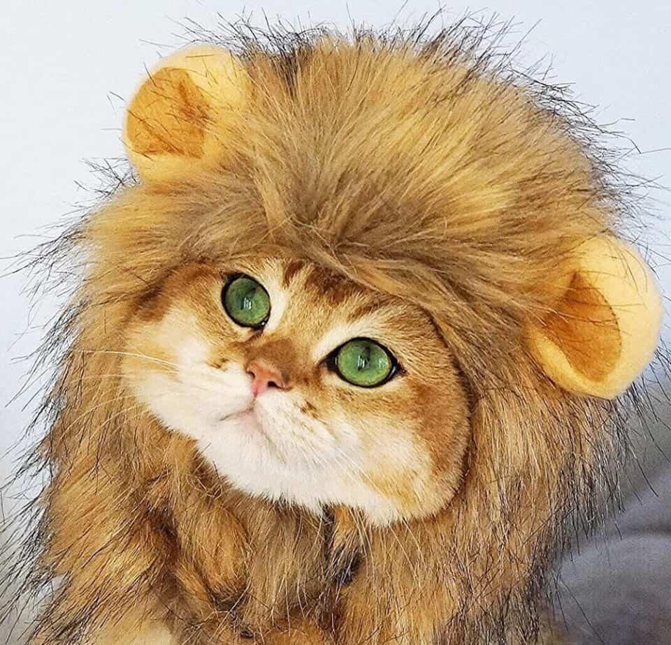 Cat Lion Mane Halloween Costume Hero Image