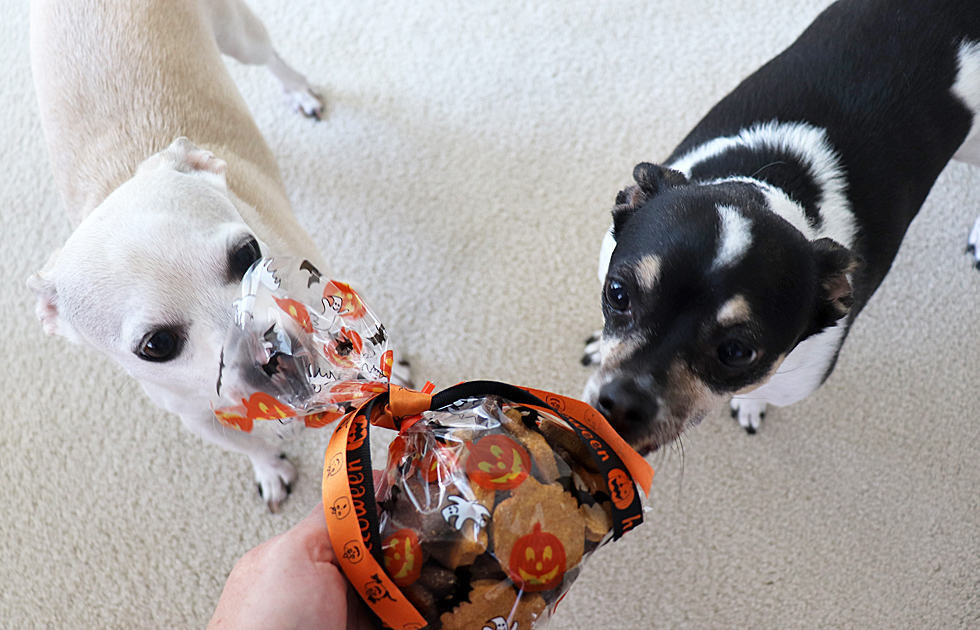 Two small dogs sniffing bag of dog treats