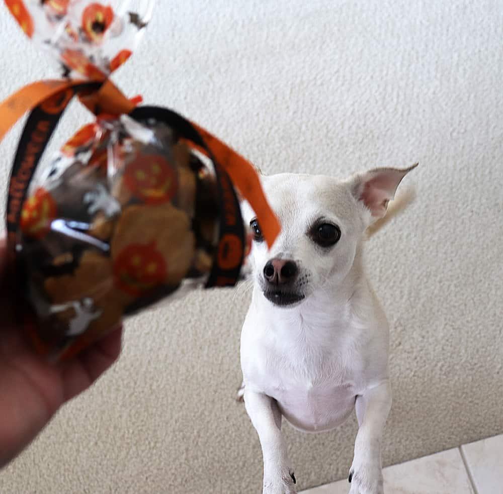 """Little blonde dog """"Sparky"""" begging for treats"""