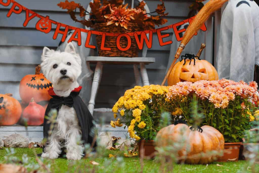 White dog dressed for Halloween with pumpkins and flowers