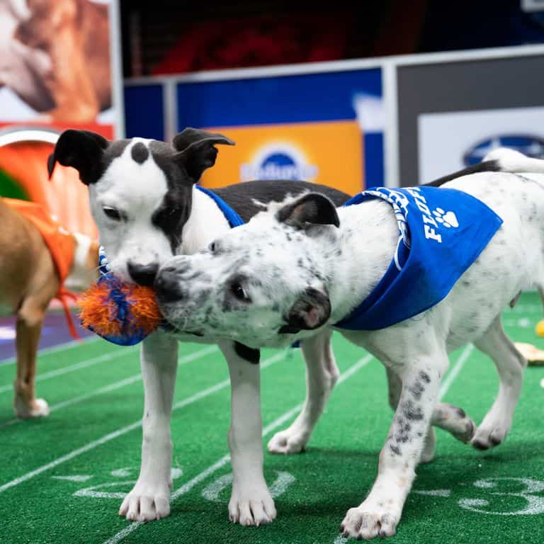 Two dogs playing tug at the Puppy Bowl 2021 on Animal Planet | Discovery+