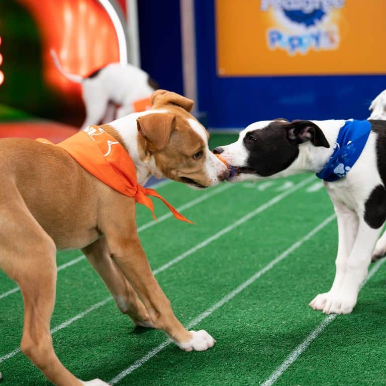 Two dogs playing tug with a ball on the gridiron during the Puppy Bowl 2021 on Animal Planet | Discovery+